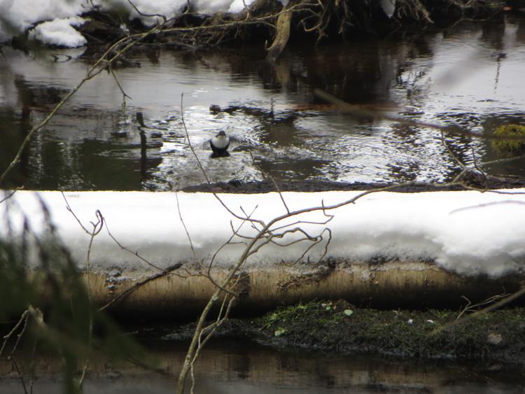 In-the-icy-kingdom-of-white-throated-dipper-the-koskikara-lintu-IMG_4732.jpg