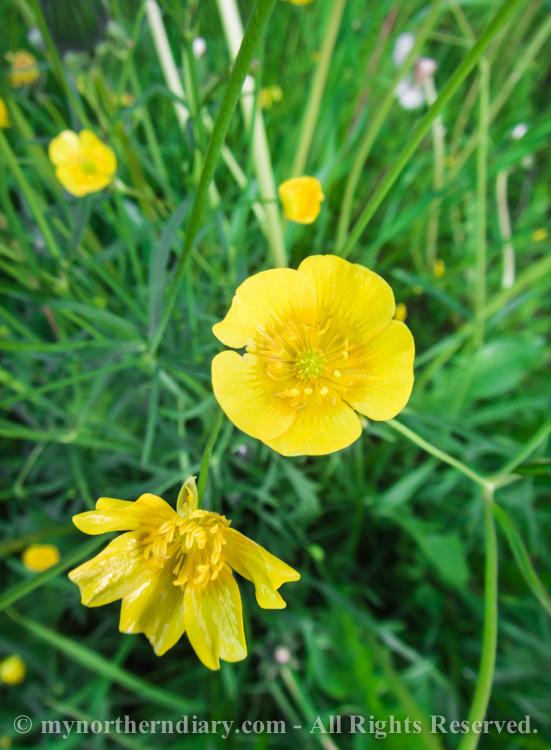 Meadow-buttercups-and-dandelions-CRW_0611.jpg