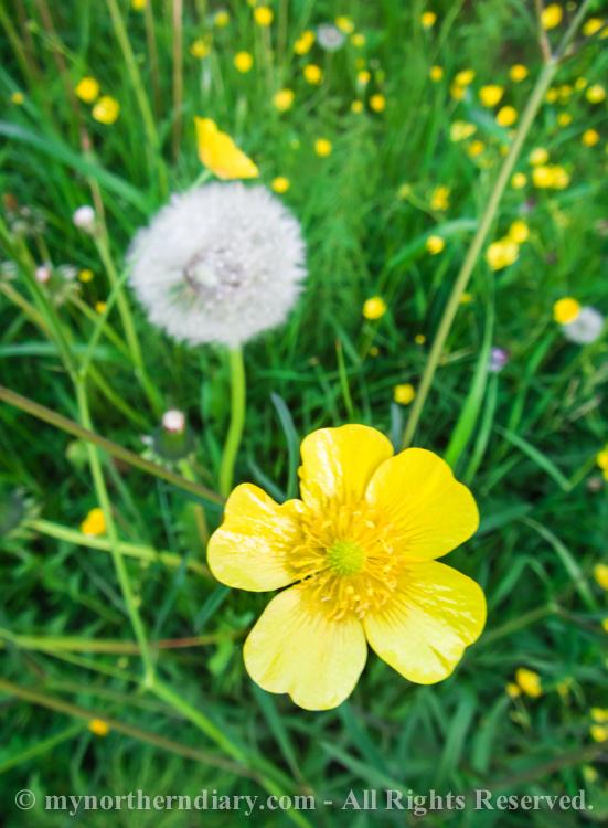 Meadow-buttercups-and-dandelions-CRW_0613.jpg