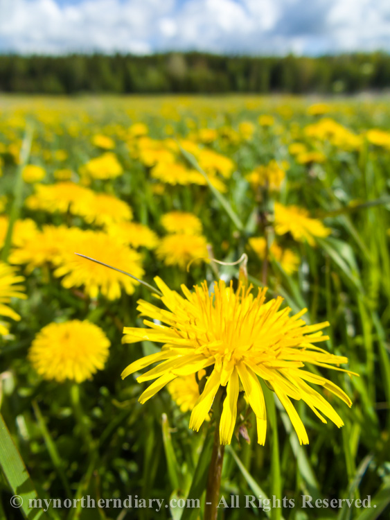 Millions-of-dandelions-in-field-CRW_2269.jpg