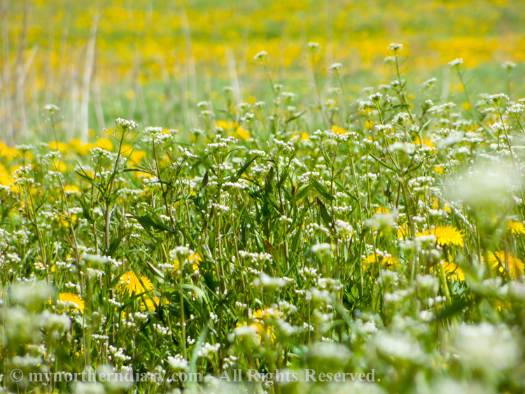 Millions-of-dandelions-in-field-CRW_2276.jpg