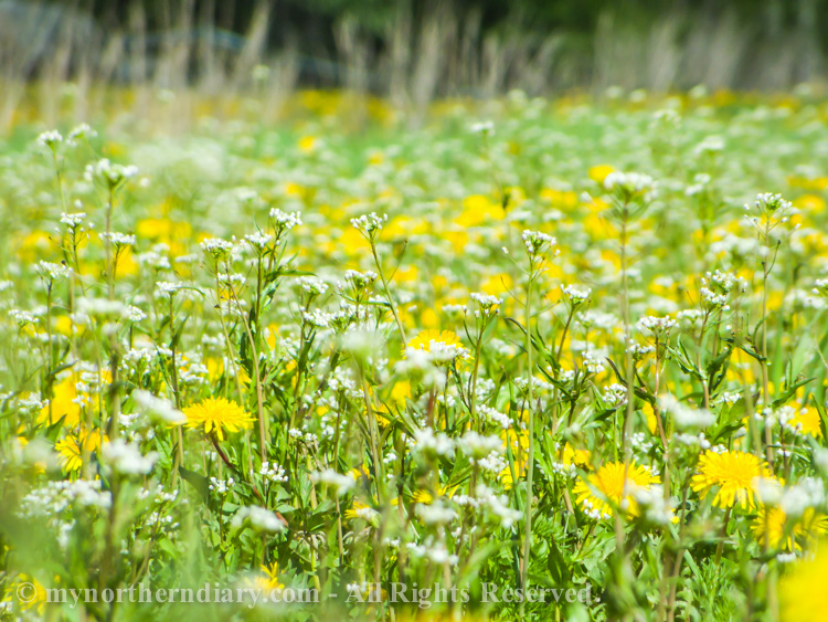 Millions-of-dandelions-in-field-CRW_2288.jpg