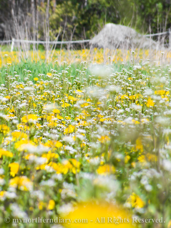 Millions-of-dandelions-in-field-CRW_2290.jpg