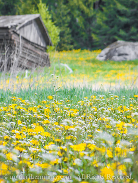 Millions-of-dandelions-in-field-CRW_2294.jpg