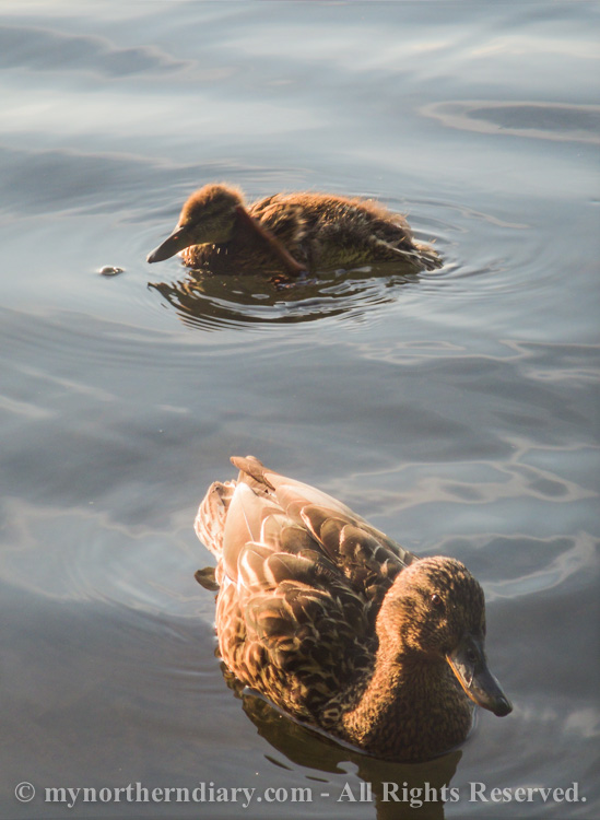 Mother-and-baby-mallard-swimming-CRW_2685.jpg