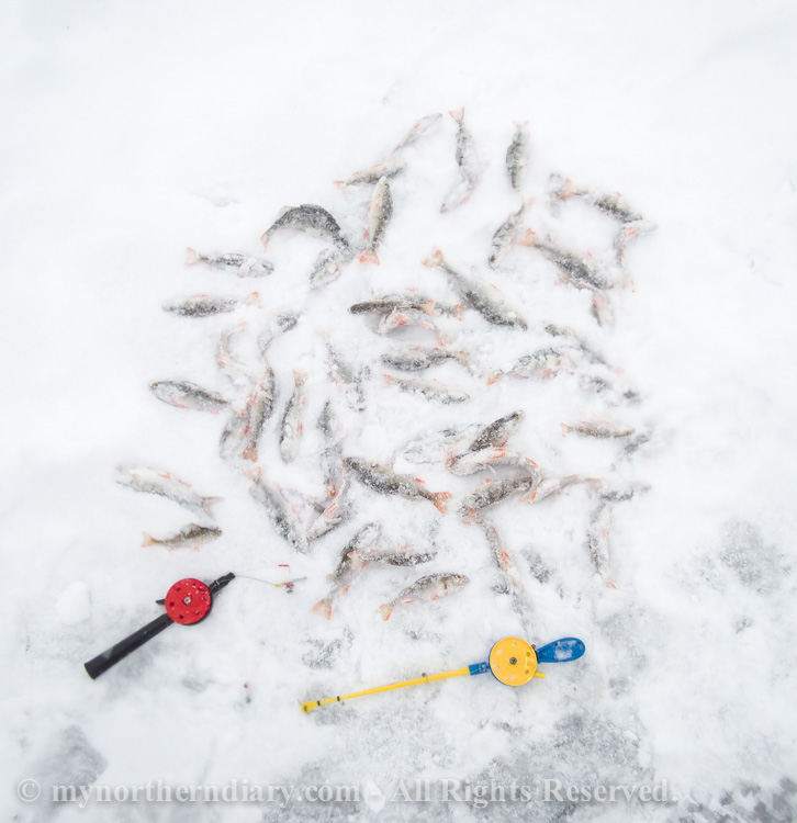 Perch-catch-by-mormuska-ice-fishing-jigs-CRW_3075.jpg