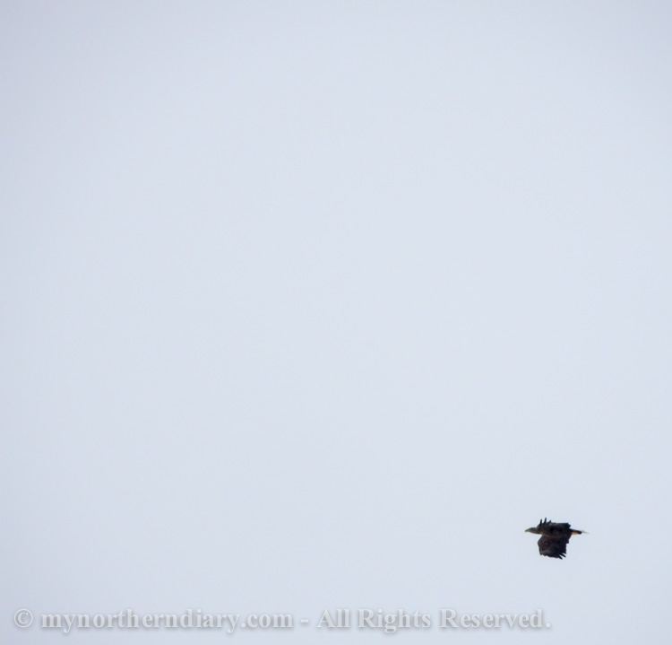 Photographing-white-tailed-eagles-on-snowy-lake-CRW_1140.jpg