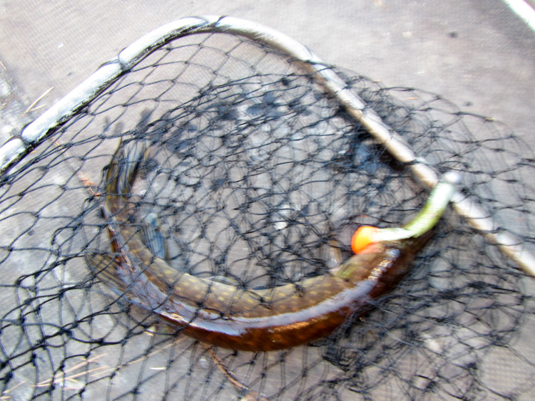 Pike-catch-IMG_0535.jpg