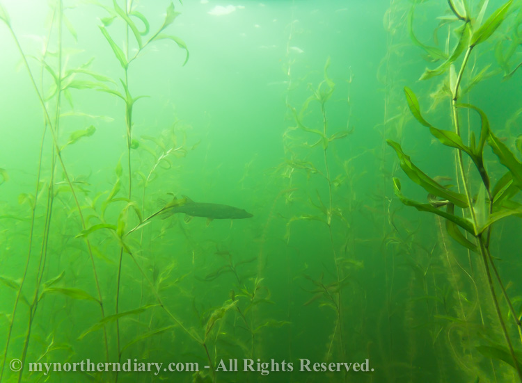 Pike-in-green-underwater-jungle-CRW_2548.jpg