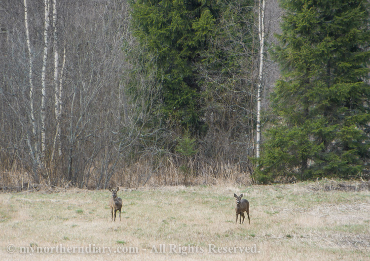 Roe-deers-in-field-CRW_2038.jpg