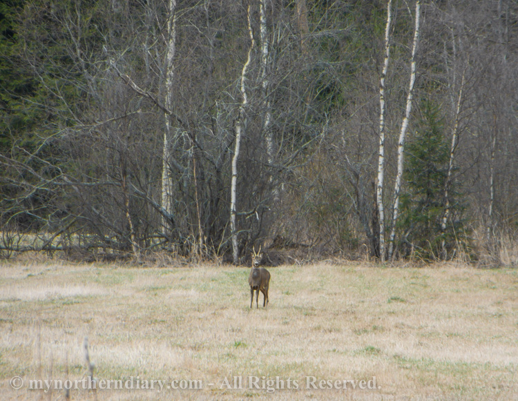 Roe-deers-in-field-CRW_2040.jpg