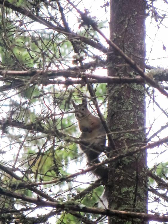 Shy-squirrel-sitting-in-pruce