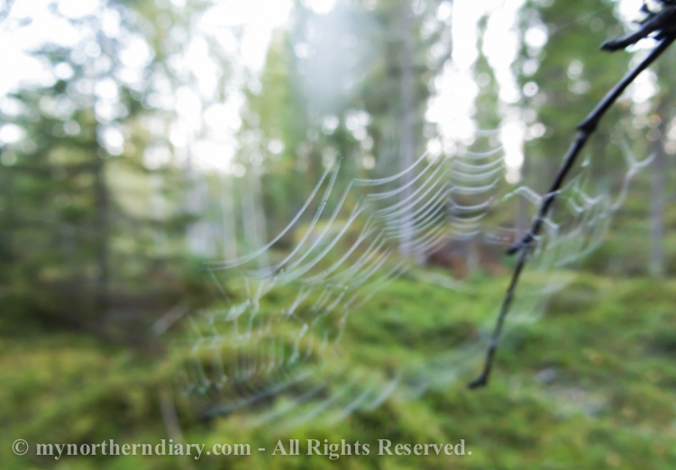 Spider-wep-in-Finnish-forest-CRW_4127.jpg