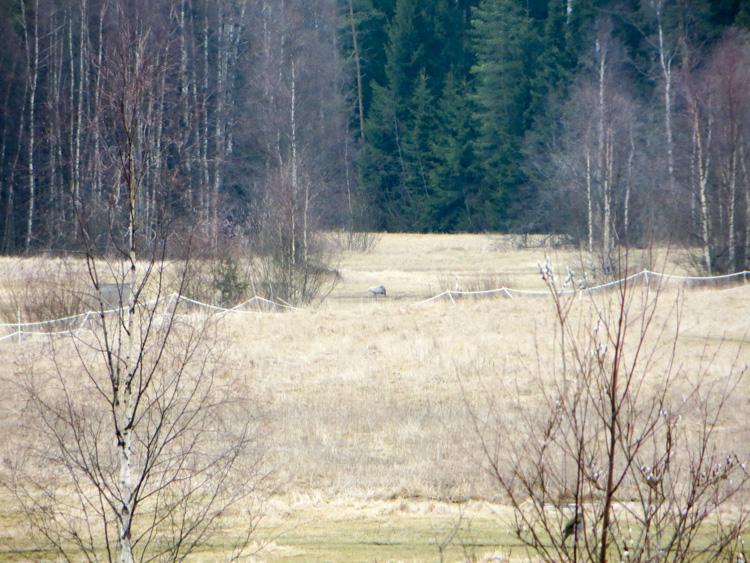 The-wet-fields-of-common-crane-the-kurki-lintu-IMG_4830.jpg