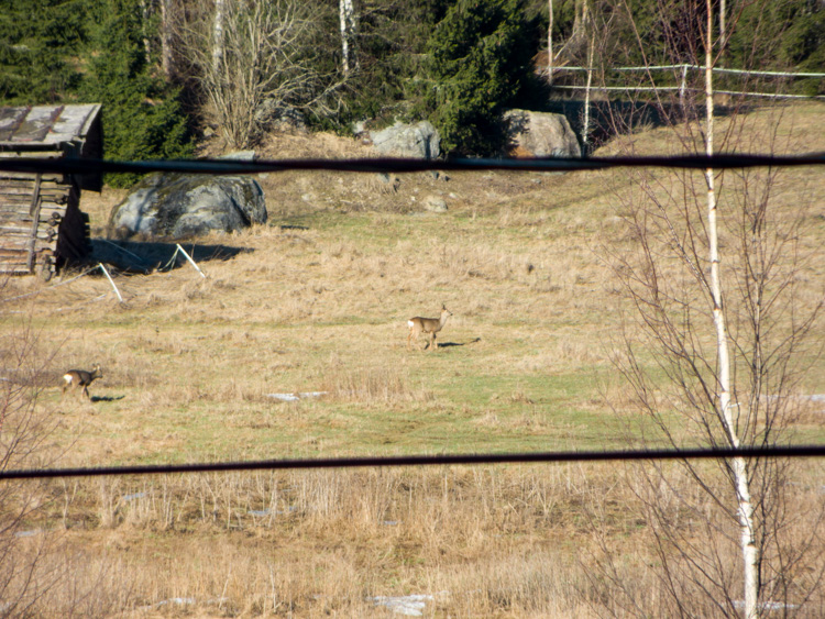 Three-roe-deers-in-field-CRW_1508.jpg