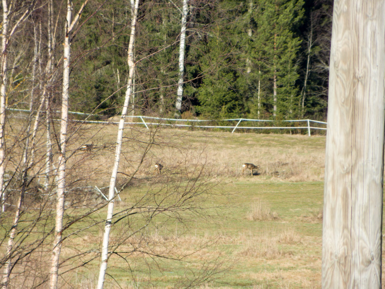 Three-roe-deers-in-field-CRW_1509.jpg