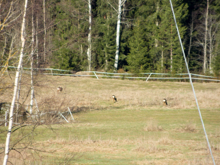 Three-roe-deers-in-field-CRW_1510.jpg