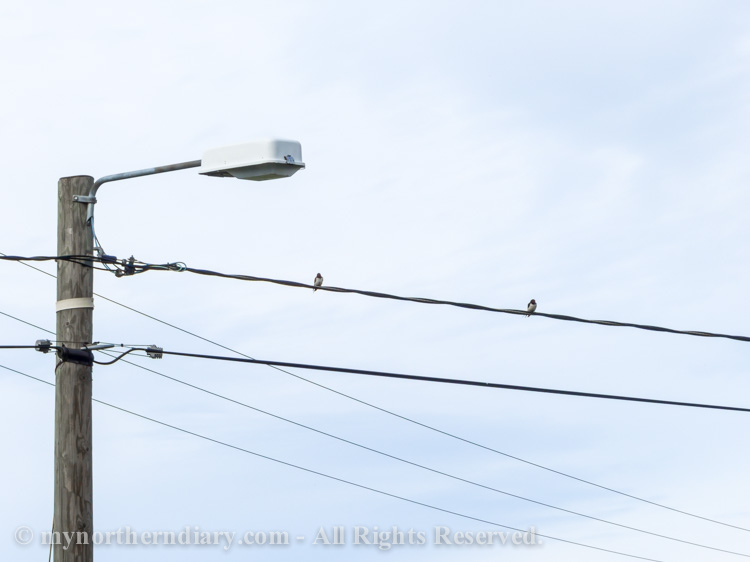 Two-swallows-sitting-on-a-electrical-line-CRW_2337.jpg