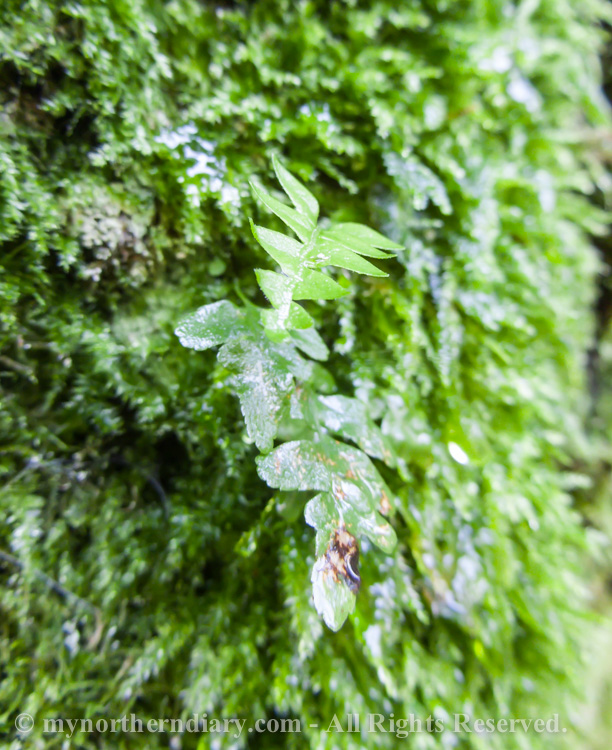Wet-fern-and-moss-CRW_4388.jpg