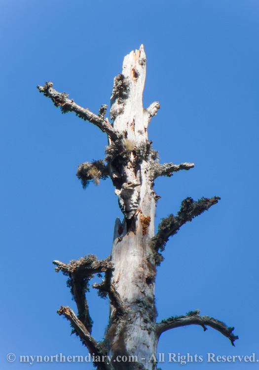 Woodpecker-on-dead-pine-tree-CRW_3535.jpg