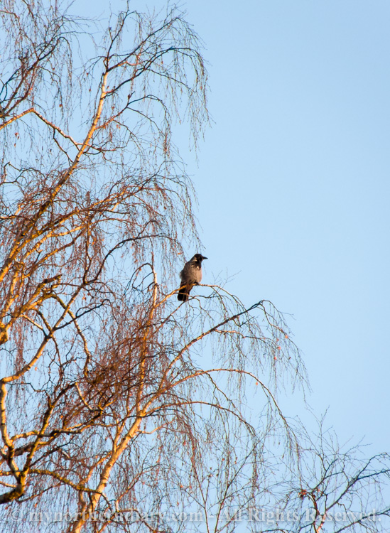 birch, hooded crow, koivu, varis_CRW_0612