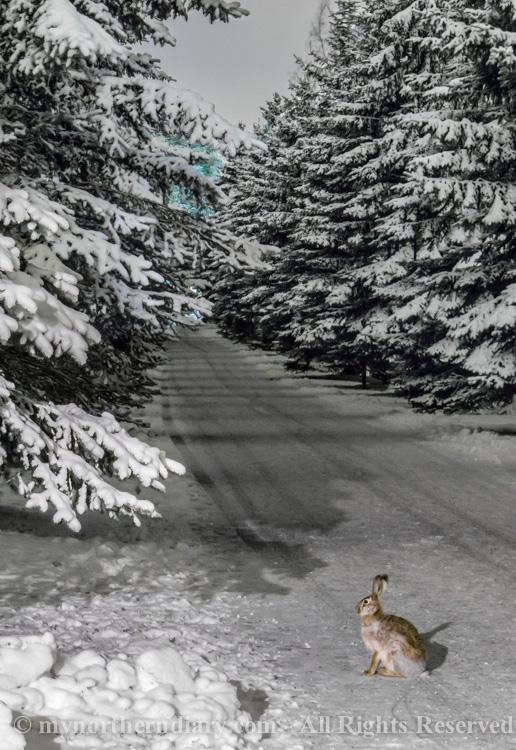 hare, janis, luminen hautausmaa, night, rusakko, snowy graveyard, yo_CRW_0710