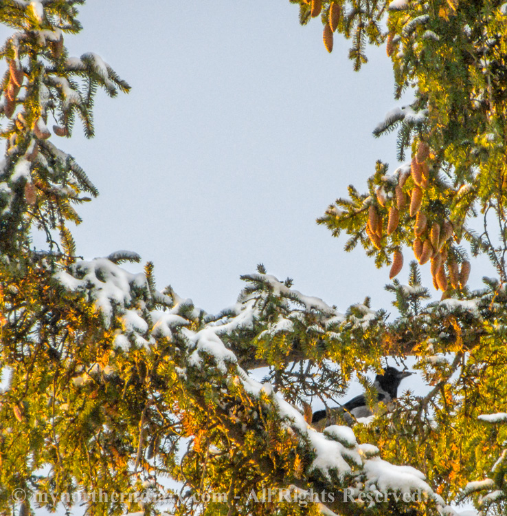 hooded crow, kuusi, luminen, snowy, spruce, varis_CRW_0603