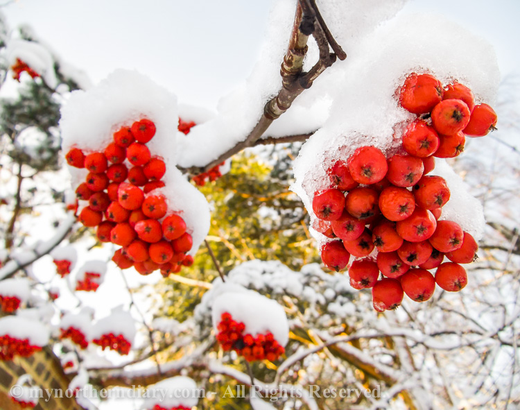 lumi, pihlajan marjoja, rowan berries, snow_CRW_0591