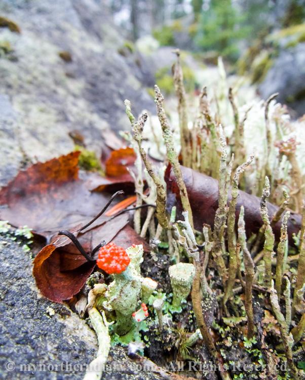 punainen jakala, red lichen_CRW_0223