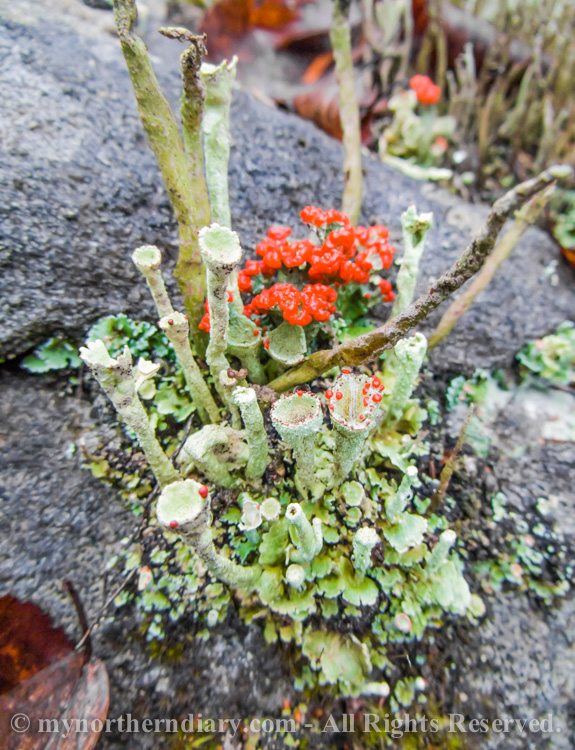 puneinen jakala, red lichen_CRW_0221
