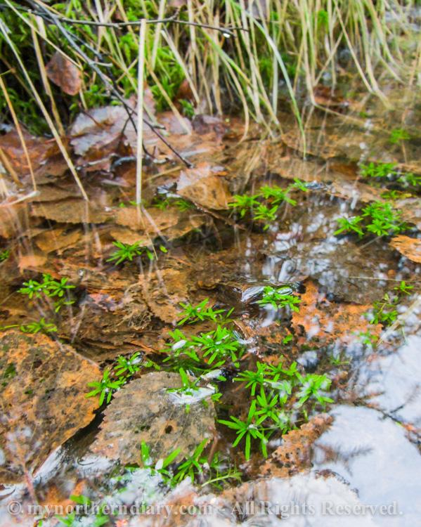 underwater moss, vedenalainen sammal_CRW_0207