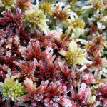 Macro image from a colorfull moss with ice crystals on it.